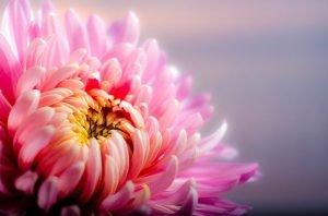 Chrysanthemum funeral flower