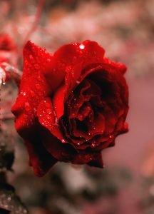 rose funeral flower