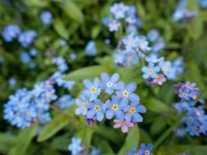 forget me not funeral flower