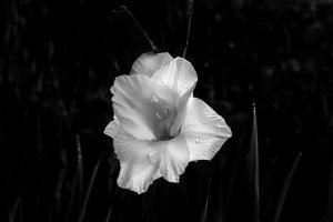 Gladiolus funeral flower
