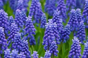Hyacinth funeral flower