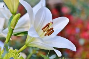 lily funeral flower